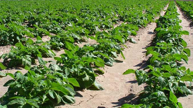 Campos de cultivos de patatas.