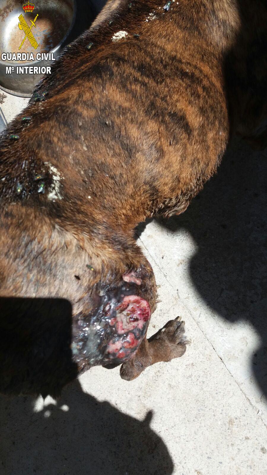 Uno de los animales que ha sido encontrado por la Guardia Civil con signos de maltrato.