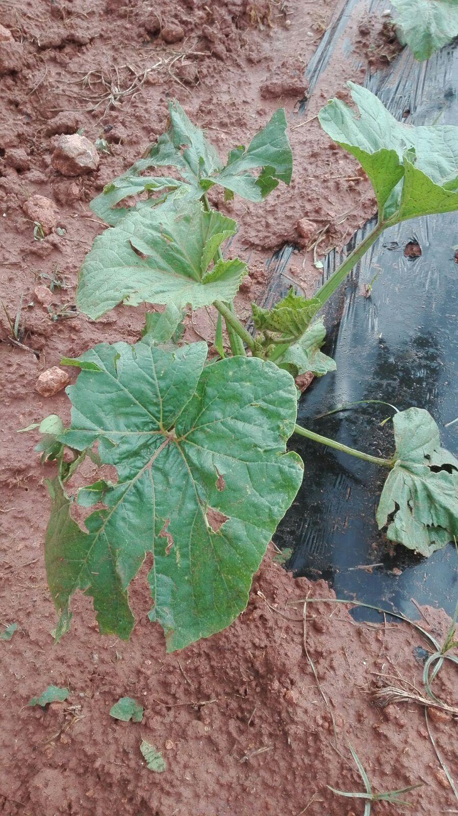 Daños producidos por el pedrisco en cultivos del interior de la provincia de Valencia.