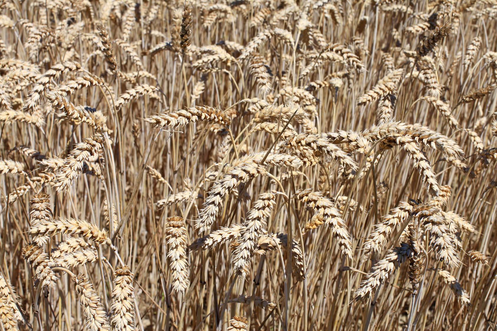 Requena-Utiel sigue cultivando grandes extensiones de cereales.