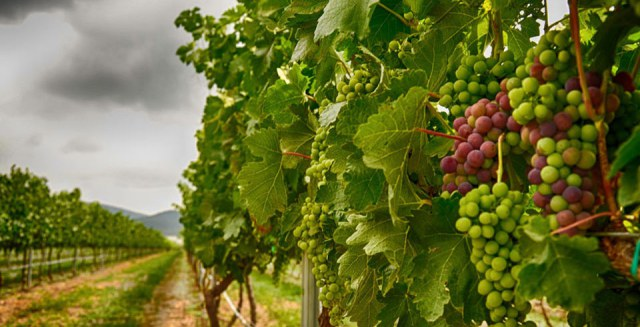 I Simposio EcowineMed. Viticultura Agroecológica Mediterránea en Utiel, los días 6 y 7 de julio.