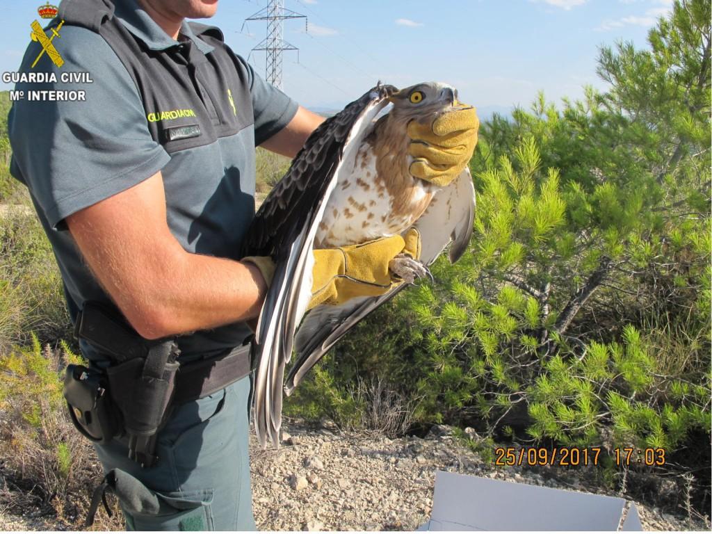 los agentes constataron que el animal se trataba de un Águila que presentaba una herida abierta en el ala izquierda y no podía volar.