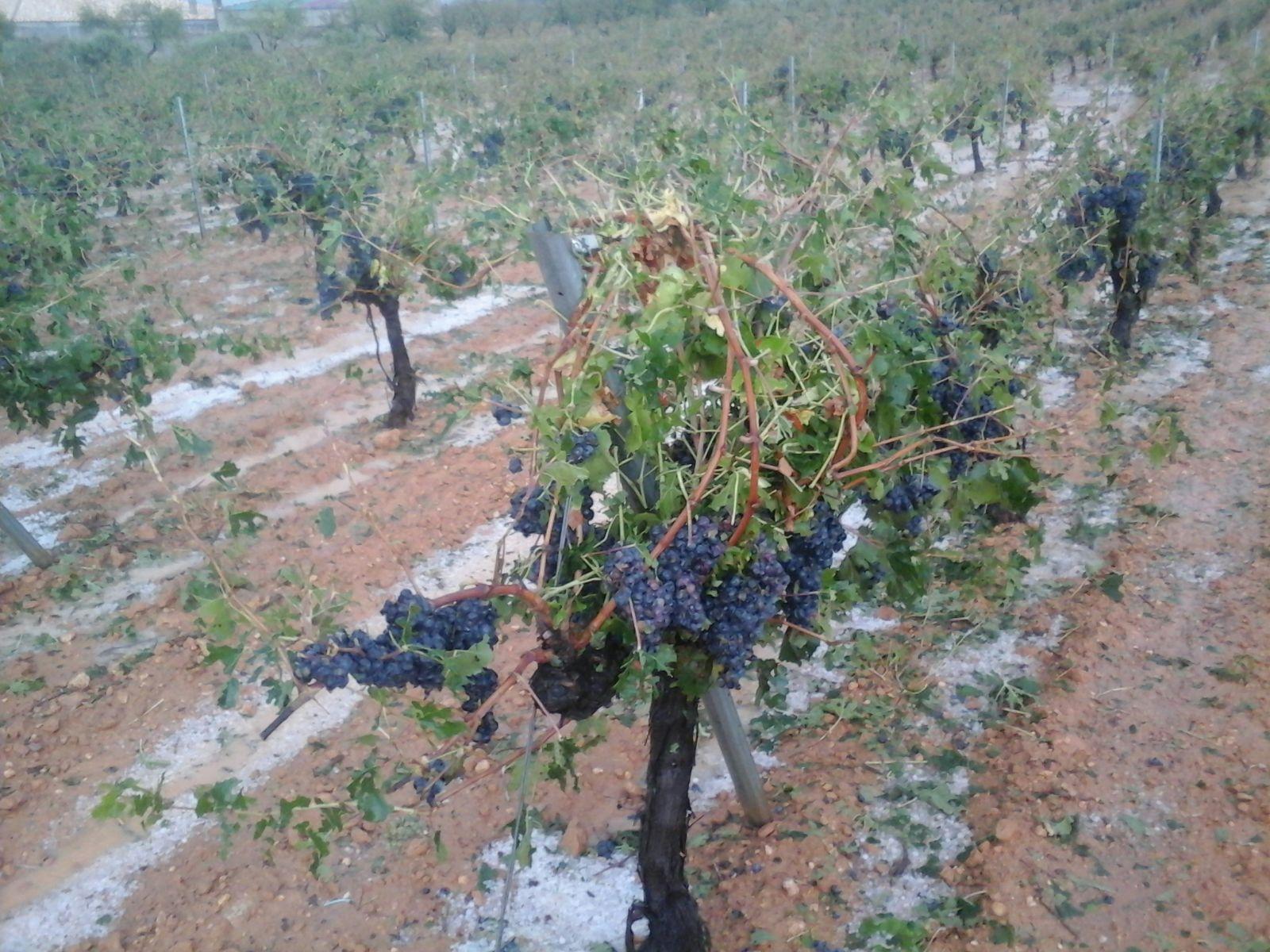 Vides afectadas por el pedrisco en la comarca de Requena-Utiel.