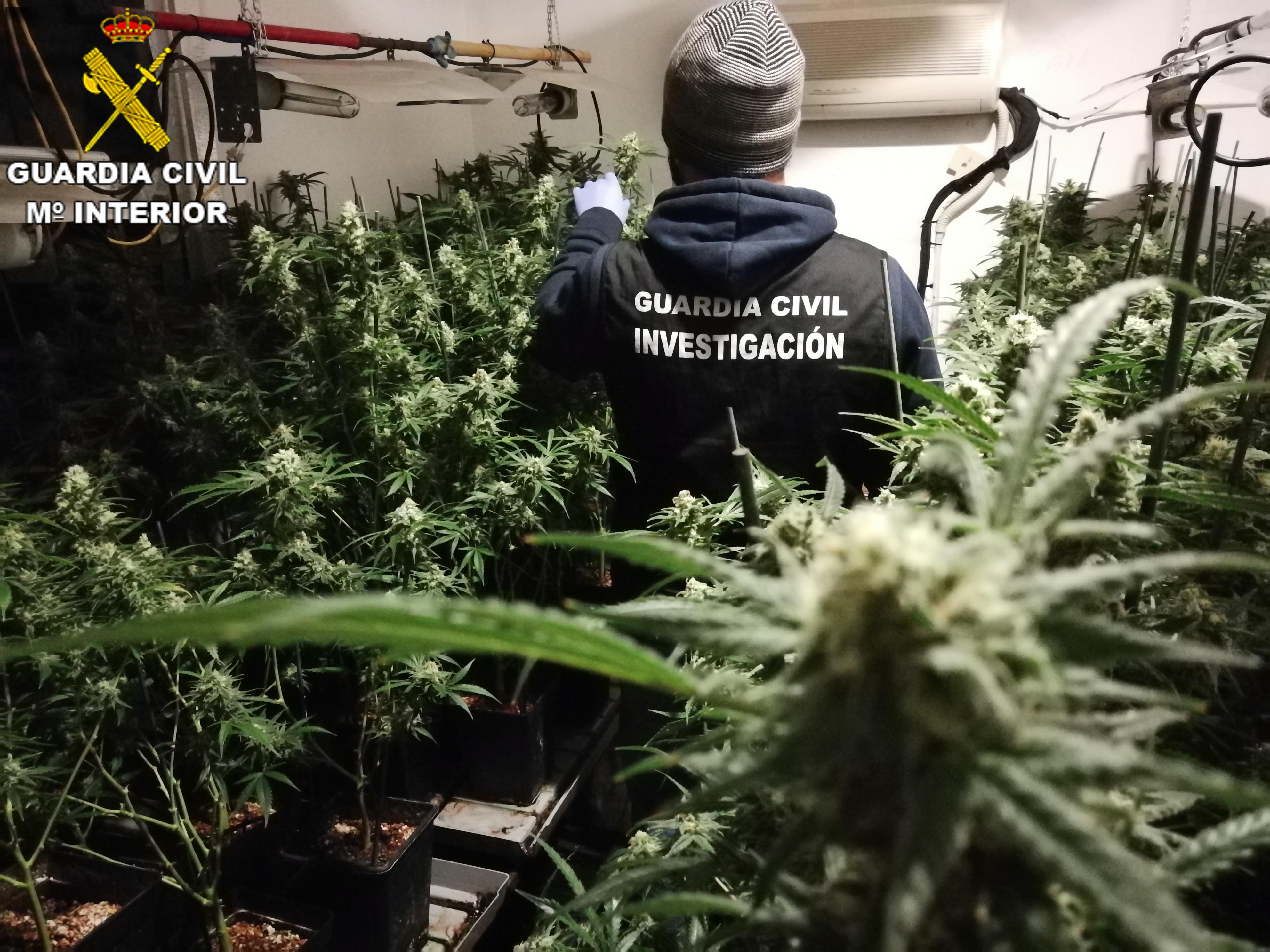 Plantación de marihuana con la incautación de 360 plantas en diferentes tamaños de crecimiento.