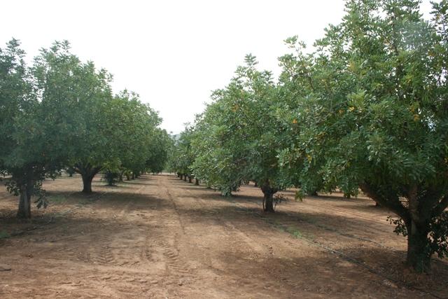 L'organització agrària alerta que, encara que les labors de recol·lecció no haurien de començar fins a la segona quinzena d'agost, ja s'han detectat les primeres afanades d'este fruit sec encoratjats per l'increment del 50% dels preus que es remenen a peu de camp.