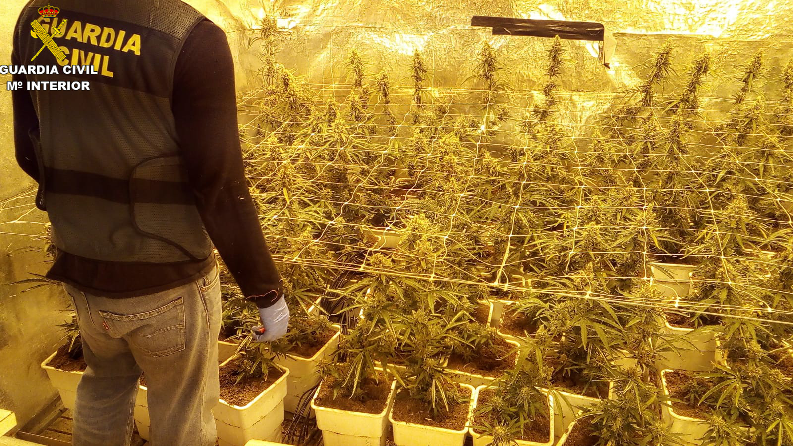 Se han intervenido 612 plantas de marihuana con un peso aproximado de más de 50 kilogramos brutos.