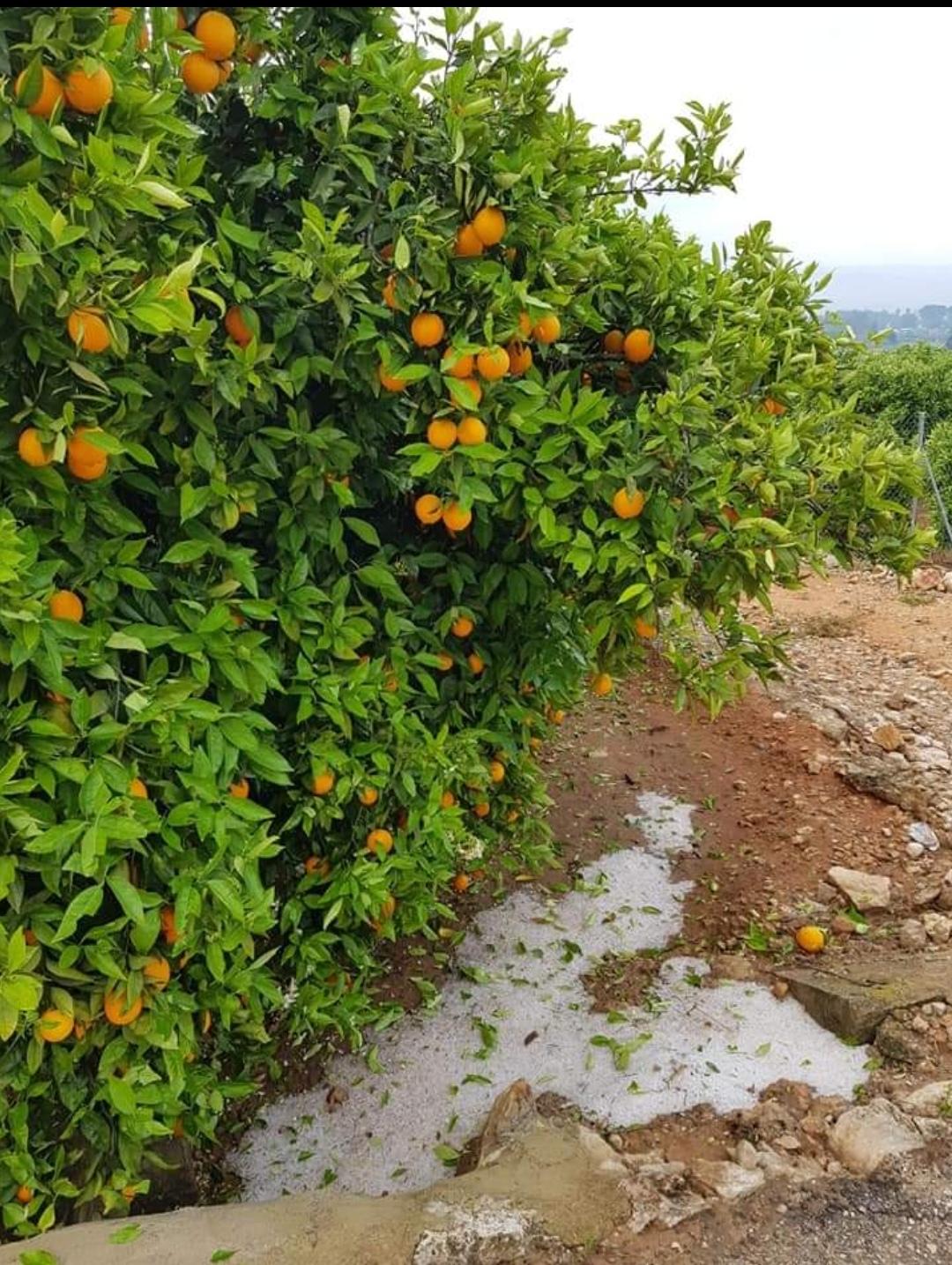 El grado de afección en algunas explotaciones de viñedo llega al 70% y también almendro, cereal, cítricos y caqui han sufrido las consecuencias de la granizada.