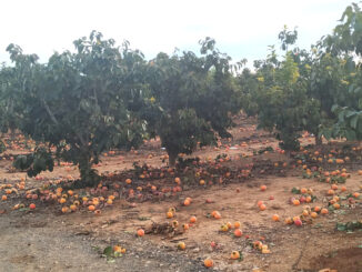 AVA-ASAJA denuncia el desperdicio alimentario que en algunas parcelas de caqui llega al 80% a causa de las restricciones europeas en la lucha contra plagas.