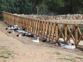 El Ayuntamiento de Cheste ofrece en adopción los patos y ocas del estanque del parque de La Lomiquia.