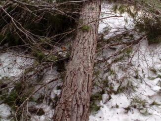 Un dels nombrosos pins enderrocats per la neu i el vent huracanat que es va registrar el 19 de gener de 2017.