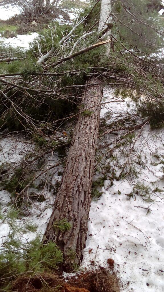 Uno de los numerosos pinos derribados por la nieve y el viento huracanado que se registró el 19 de enero de 2017.